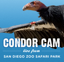 Take a Live Look: Condor Cam