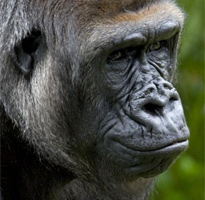 Conservation Highlight: Western Lowland Gorilla