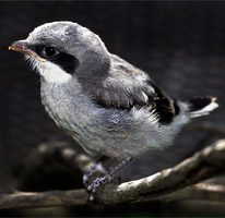 Conservation Highlight: Loggerhead Shrike