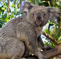 Cracking the Code: Koala Communication