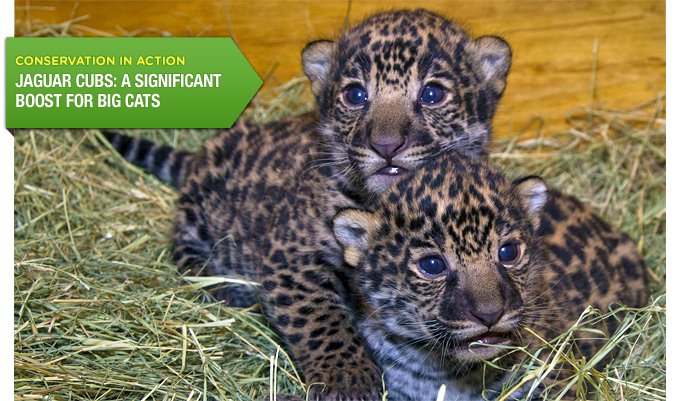 Conservation in Action: Jaguar Cubs: A Significant Boost for Big Cats